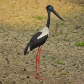 the black-necked stork